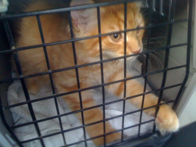 Murdock riding in his cage on the day I picked the cats up